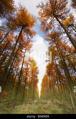 Tall Autumn Pine trees in the Forest of Dean, Gloucestershire, England, UK - Stock Photo