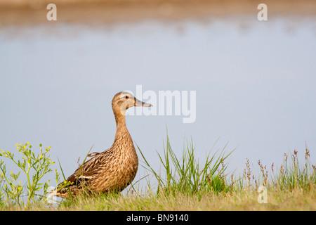 Female Mallard Anas platyrhynchos, Norfolk, UK, summer - Stock Photo
