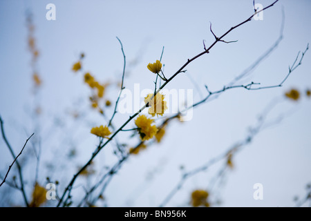 Branches of Kerria japonica with yellow flowers in spring - Stock Photo