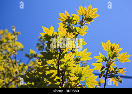 Young Sycamore leaves glowing against a blue sky Stock Photo