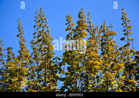 Young Sycamore leaves against a blue sky Stock Photo