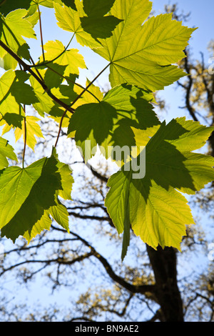 Sycamore leaves with leaf shadows on them against a blue sky Stock Photo