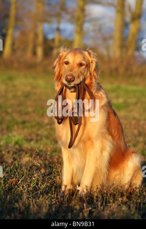sitting Golden Retriever - Stock Photo