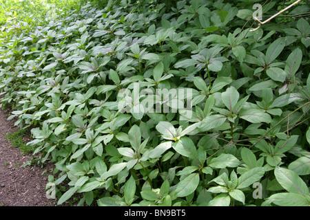 Himalayan Balsam, Impatiens glandulifera, Balsaminaceae. Young Plants in Spring Woodland. Aka Indian Balsam
