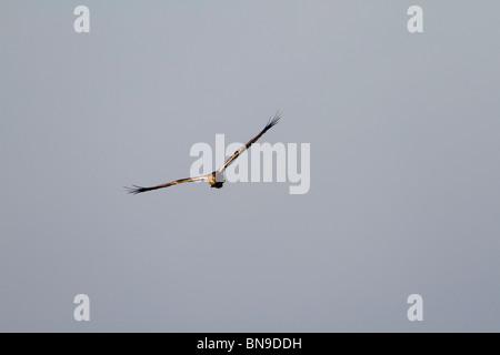 Marsh Harrier; Circus aeruginosus; in flight - Stock Photo