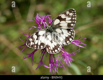 Marbled White Butterfly, Melanargia galathea, Nymphalidae, on a Greater Knapweed Flower - Stock Photo