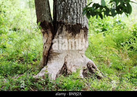 Beaver gnawing on a tree - Stock Photo