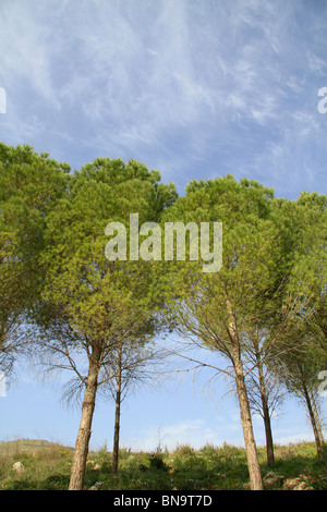 Israel, Upper Galilee, Naftali Mountains forest - Stock Photo
