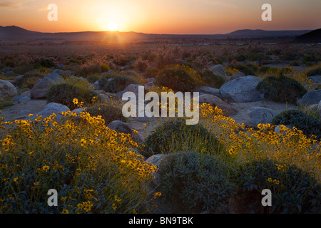 Wildflowers in Borrego Palm Canyon, Anza-Borrego Desert State Park, California. - Stock Photo