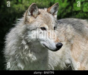 Grey female Tundra Wolf - Stock Photo