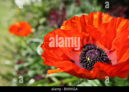 Weeping Ash Garden, England. Close up spring view of orange poppies in the borders of Weeping Ash Gardens. - Stock Photo