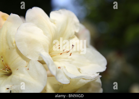 Weeping Ash Garden, England. Close up spring view of white rhododendrons in full bloom. - Stock Photo