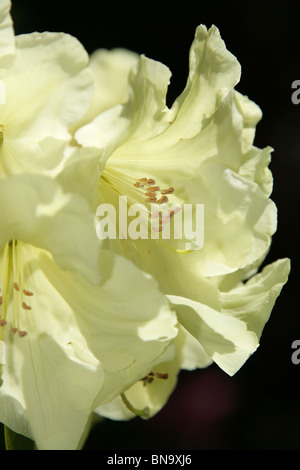 Weeping Ash Garden, England. Close up spring view of yellow rhododendrons in full bloom. - Stock Photo