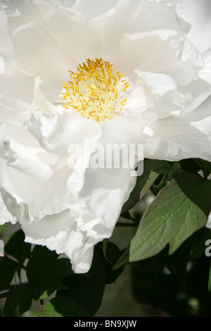 Weeping Ash Garden, England. Close up spring view of a white Japanese peony at Weeping Ash Gardens. - Stock Photo