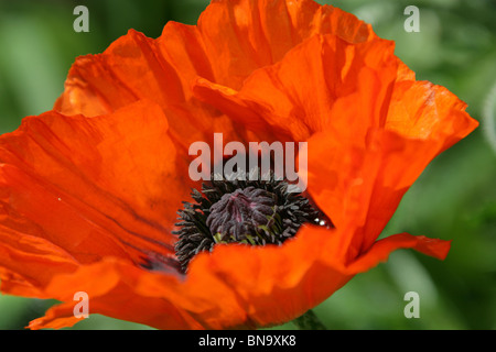 Weeping Ash Garden, England. Close up spring view of an orange poppy in the borders of Weeping Ash Gardens. - Stock Photo