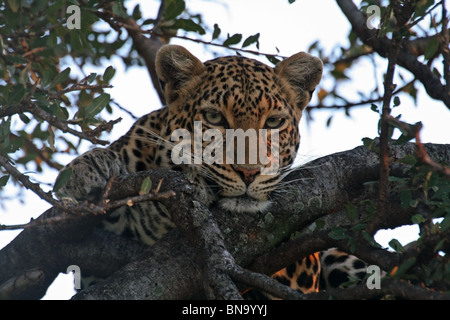 A Leopard resting on a Fig tree in the evening in Masai Mara National Reserve, Kenya, East Africa - Stock Photo