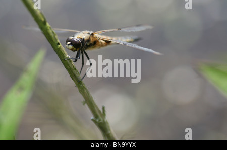 A Broad-bodied Chaser Dragonfly (Libellula depressa) - Stock Photo