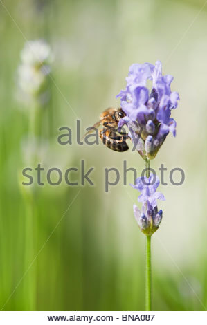 Honeybee feeding on lavender in an english garden. UK - Stock Photo
