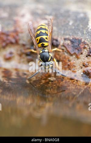 Vespula vulgaris. Common wasp. Yellowjacket wasp drinking from a bird bath in an english garden. UK - Stock Photo