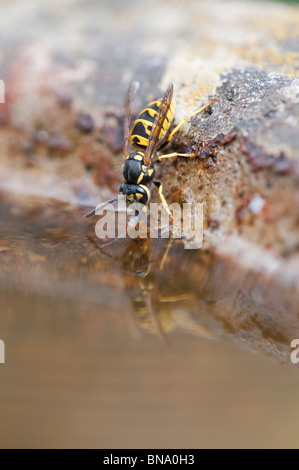 Vespula vulgaris. Common wasp. Yellowjacket wasp drinking from a bird bath in an english garden. UK - Stock Photo