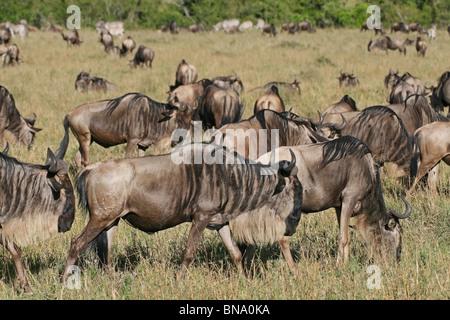 Black Wildebeests grazing in the Savannah's of Masai Mara National Reserve, Kenya, East Africa - Stock Photo