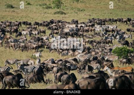 Thousands of Wildebeests, Zebras, Elands and Gazelles grazing in Masai Mara National Reserve, Kenya, East Africa - Stock Photo