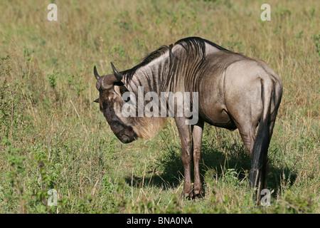 A Black Wildebeest Portrait shot. Picture taken in Masai Mara National Reserve, Kenya, East Africa - Stock Photo
