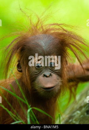 Baby Orangutan (Pongo pygmaeus) up close. - Stock Photo