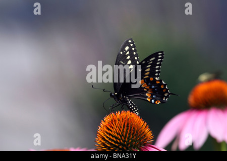 Black Swallowtail Butterfly, Papilio polyxenes, feeding on a Purple Coneflower, Echinacea purpurea. - Stock Photo