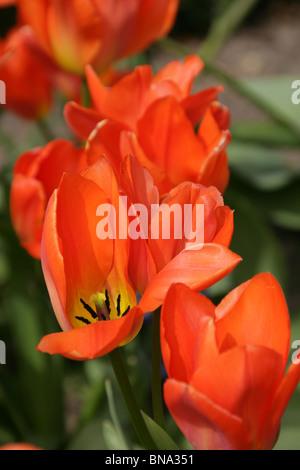 Bridgemere Nursery & Garden World. Close up view of Orange Emperor tulips in full bloom at Bridgemere's show gardens. - Stock Photo