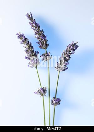 sprigs of fresh lavender (lavendula) with blue background - Stock Photo