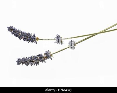 Bunch of fresh lavender - Stock Photo