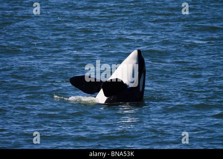 Orca whale Shachi J19 , female, born 1979, spy-hopping, Northern Puget Sound or Salish Sea, between WA USA and BC - Stock Photo