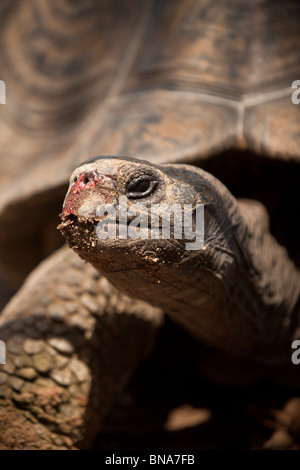 Aldabra Giant Tortoise (Geochelone gigantea), from the islands of the Aldabra Atoll in the Seychelles. - Stock Photo