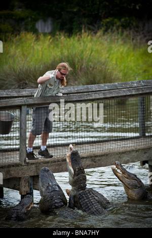 A trainer feeds American alligators (Alligator mississipiensis) at Alligator Adventure in Myrtle Beach, SC. - Stock Photo