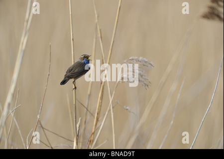 Bluethroat (Luscinia svecica) singing in a reed bed at spring - Stock Photo