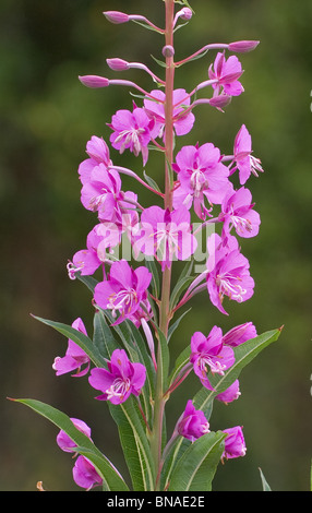 Rosebay Willowherb Chamaenerion angustifolium or fireweed showing pretty individual florets - Stock Photo