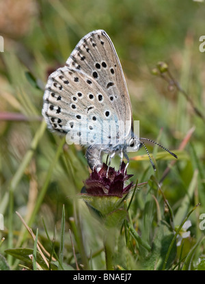 Large Blue butterfly Maculinea arion female ovipositing on Selfheal flower at Collard Hill Somerset - Stock Photo
