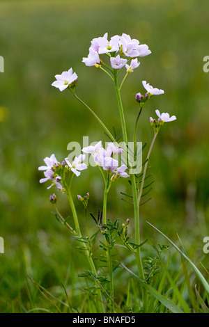 Lady's Smock or Cuckoo flower in a damp Somerset meadow - Stock Photo