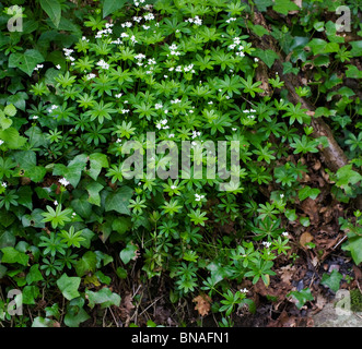 Woodruff Gallium odoratum colony growing on a woodland bank in Somerset - Stock Photo