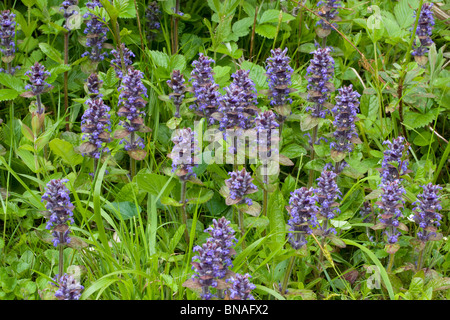 Bugle Ajuga reptans colony growing by a woodland edge in Kent - Stock Photo