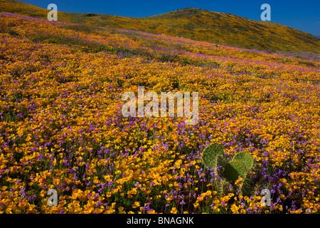 Wildflowers in Black Hills, Arizona. - Stock Photo
