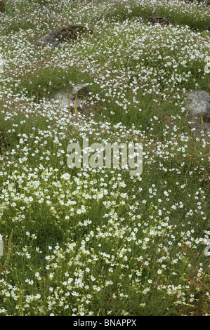 Sea campion carpet (Silene uniflora) - Stock Photo