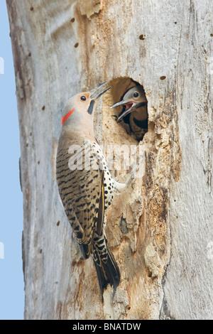 Northern Flicker Woodpecker Nest - Vertical - Stock Photo