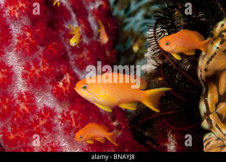 Schooling anthias. - Stock Photo