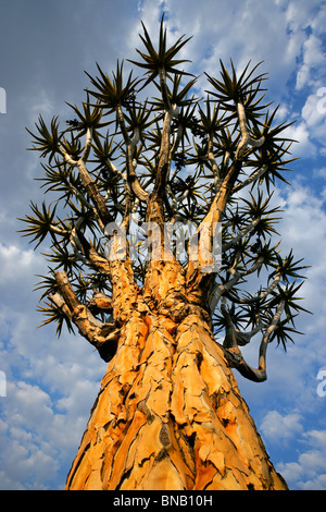 Quiver tree (Aloe dichotoma) against a cloudy sky, Namibia, southern Africa - Stock Photo