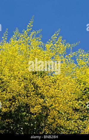 Ornamental Golden Rain Tree / Koelreuteria paniculata 'Pride of India' - Indre-et-Loire, France. - Stock Photo