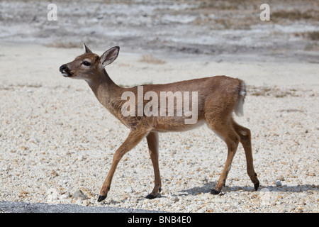 Key Deer - odocoileus virginianus clavium on No Name Key, Florida Keys - Stock Photo