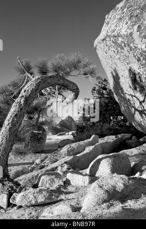 Half Dome seen through twisted tree. Yosemite National Park, California - Stock Photo