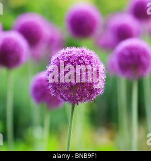 Purple Allium flowers, English Gardens, Assiniboine Park, Winnipeg, Manitoba, Canada. - Stock Photo